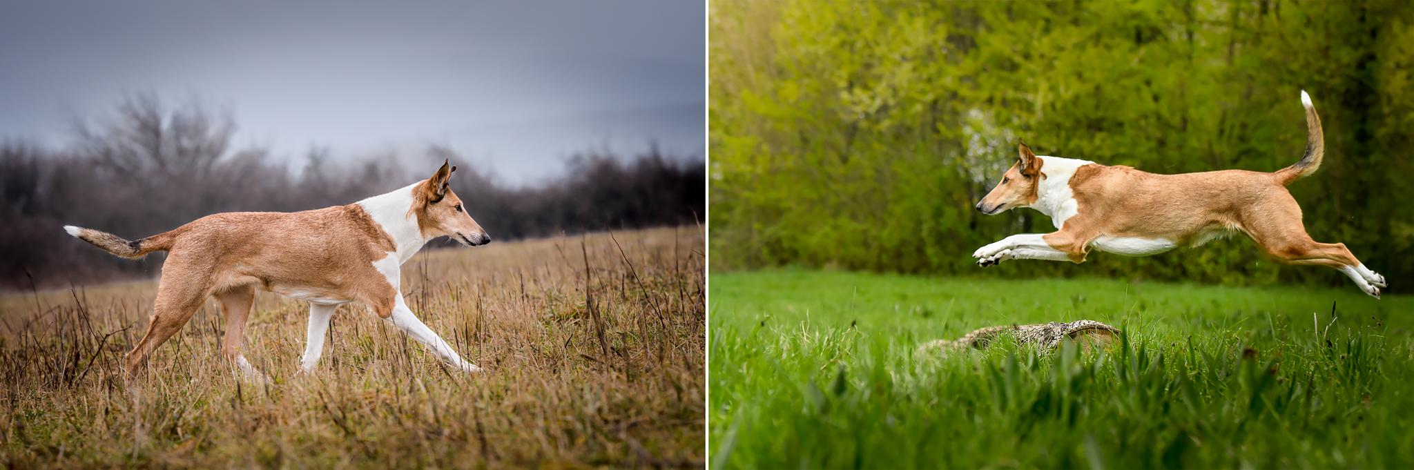 Pomalší pohyb zo strany je ideálny pre tréning začiatočníkov. Pri zrýchlenom pohybe či skoku (vpravo) sa výraz psa významne odlišuje a z jeho napätého tela je jasné, aký pohyb ste sa na fotke snažili zachytiť.